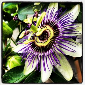 Example Instagram picture depicting a passionflower bloom